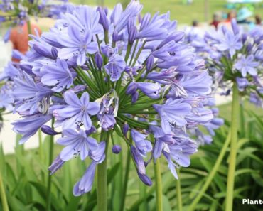 Agreeable Agapanthus