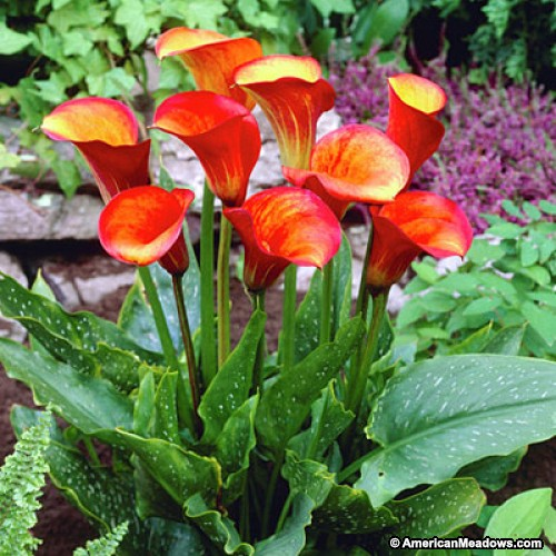 CALIFORNIA CALLA Red Flame