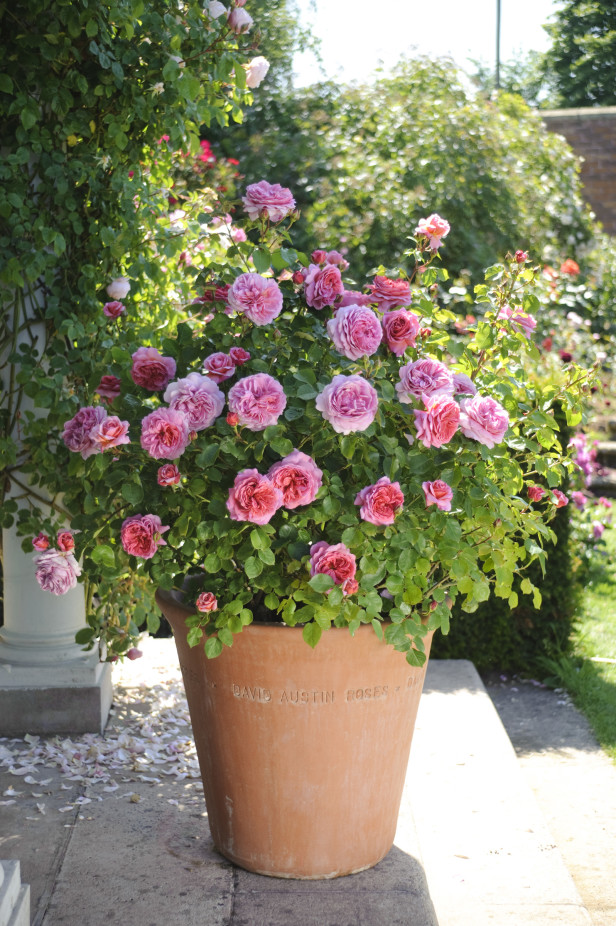 Garden containers for roses