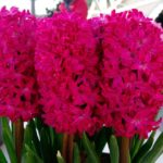 Hyacinth Jan Bos Hot Pink bulbs