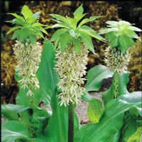 EUCOMIS - PINEAPPLE LILY
