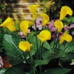 LILIES ZANTEDESCHIA MINIATURE YELLOW