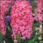 HYACINTH Fragrant bulbs