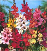 ixia mixed african corn lily