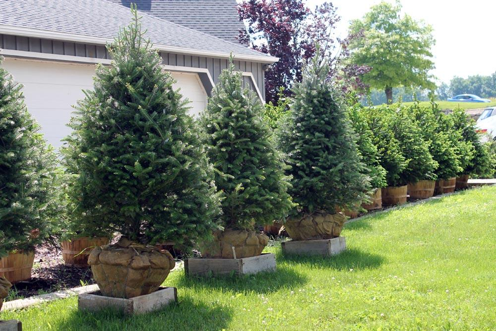 Landscaping trees wilson rose garden - Decorative small trees for landscaping ...