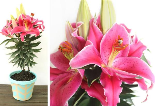 Lilies buy bulbs