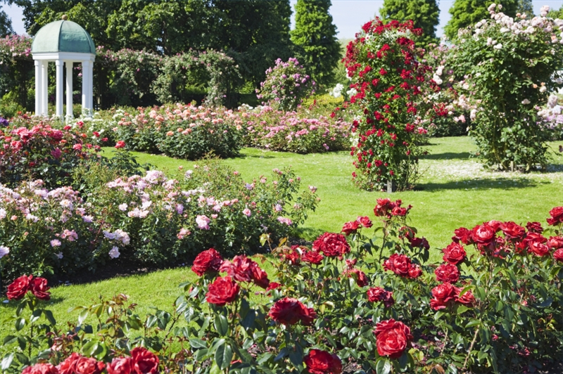 Roses in the garden design Wilson Rose Garden