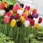 Tulip Mixed Colors bulbs