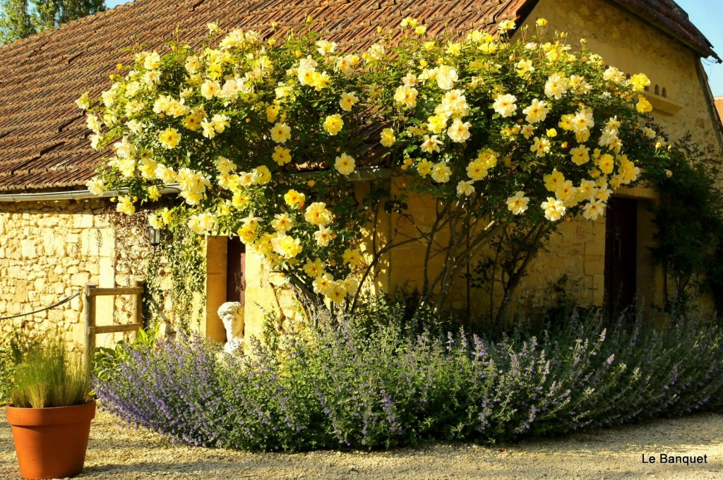 Yellow rose bush care
