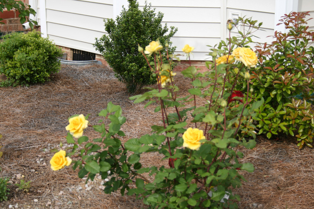 Yellow rose bush home depot