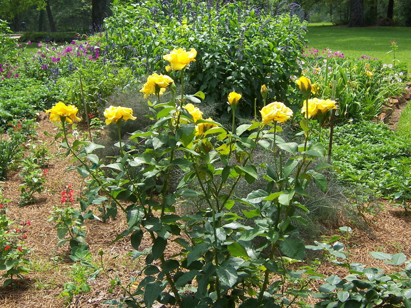 Yellow rose bush tree