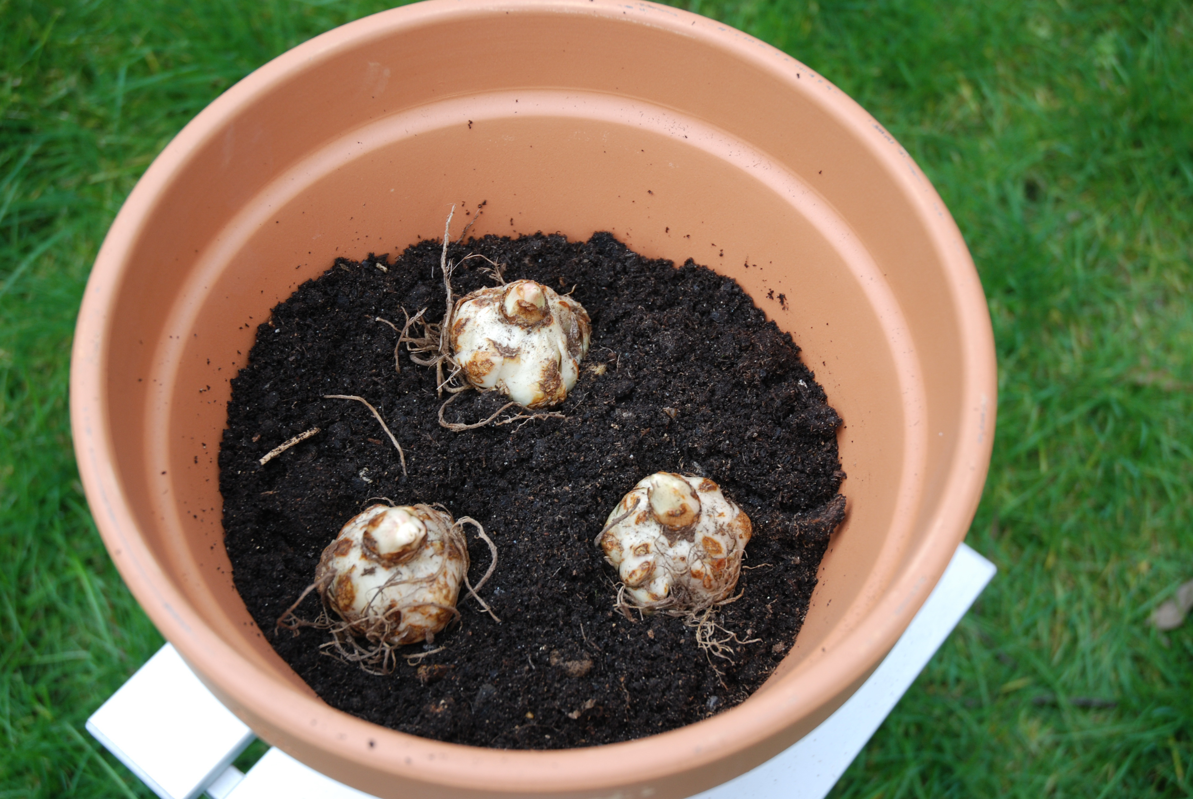 how to grow roses in pots at home