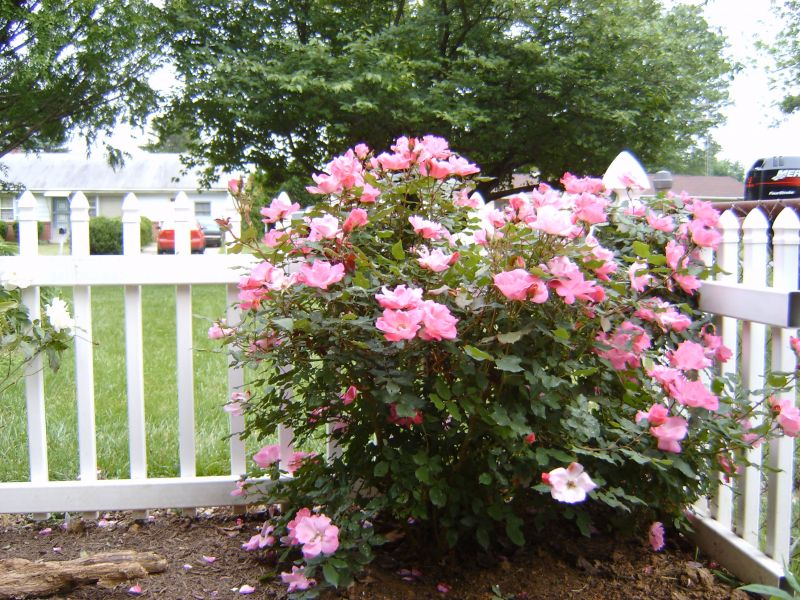 Landscaping Ideas Rose Garden : Small garden design with roses wilson rose