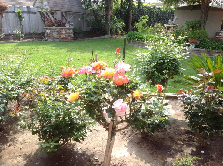 growing english garden roses