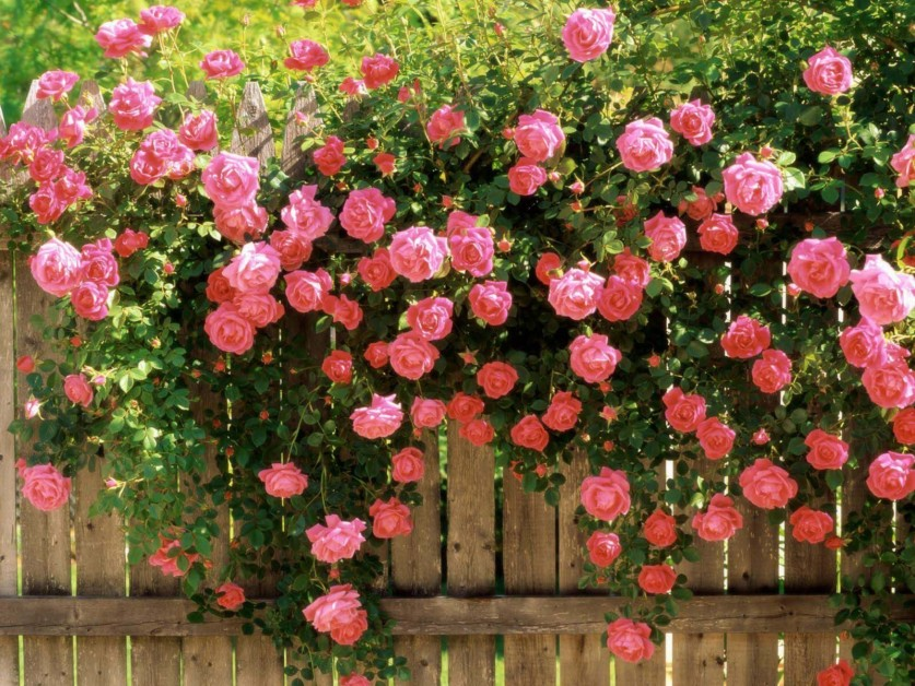 how to care for roses from florist