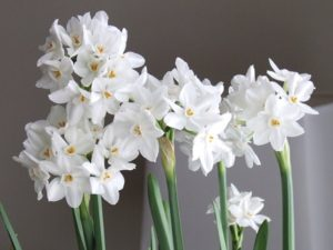 paperwhite narcissus bulbs