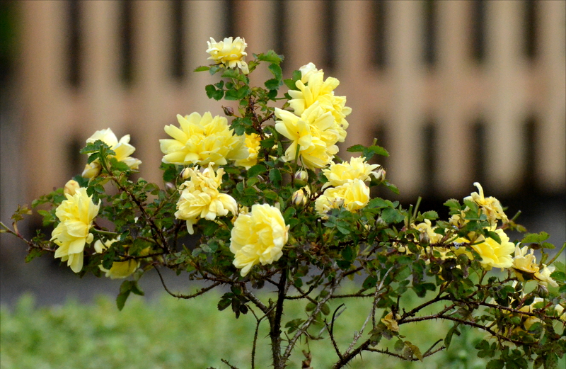 yellow rose bush pictures