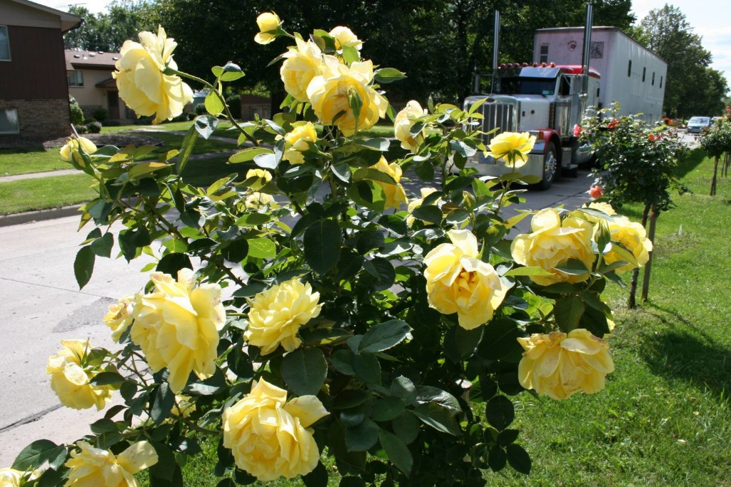 yellow rose bushes types