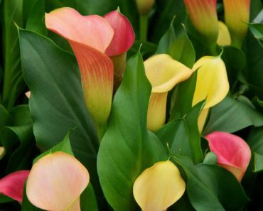 zantedeschia bulbs