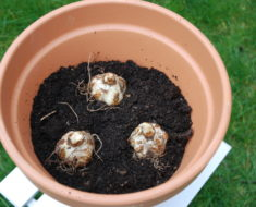 How to Plant Lilies in Pots