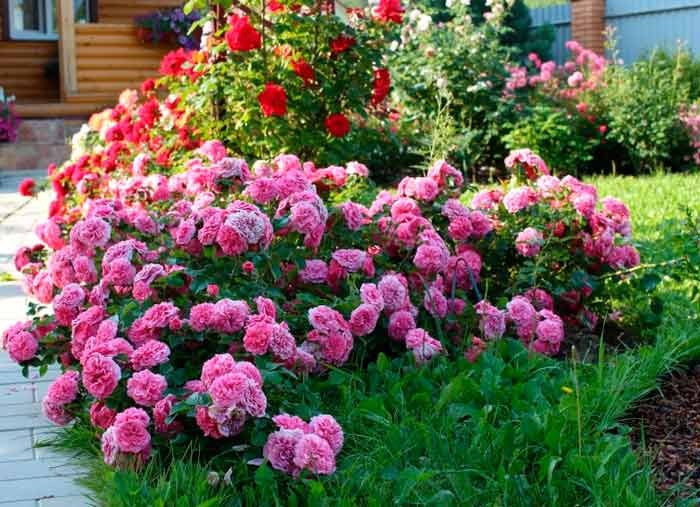 landscaping with roses photos