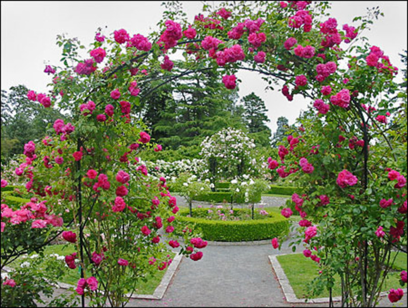 landscaping with roses