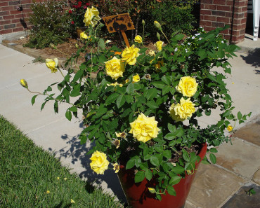 yellow rose bush varieties